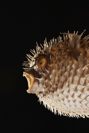 Taxidermal inflated puffer fish studio shot cropped Stock Photo - 8844731