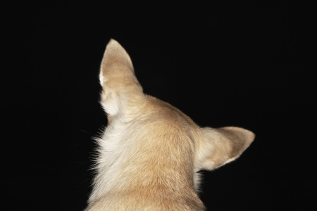 Chihuahua close-up back view Stock Photo - 8844767