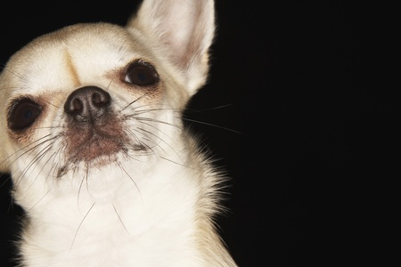 whiskers: Chihuahua close-up LANG_EVOIMAGES