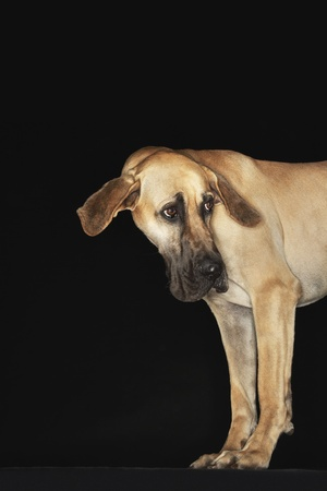 Great Dane standing head turned ears extended Stock Photo - 8844771