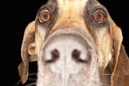 nose close up: Brazilian mastiff (Fila Brasileiro) close-up LANG_EVOIMAGES