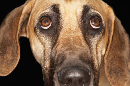 Brazilian mastiff (Fila brasileiro) close-up Stock Photo - 8844776