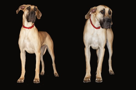 Two Brazilian mastiffs (Fila brasileiro) standing side by side front view Stock Photo - 8844778