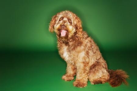 lengua afuera: Otterhound sentado con la lengua fuera