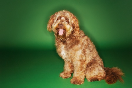 Otterhound sitting with tongue out Stock Photo - 8844787