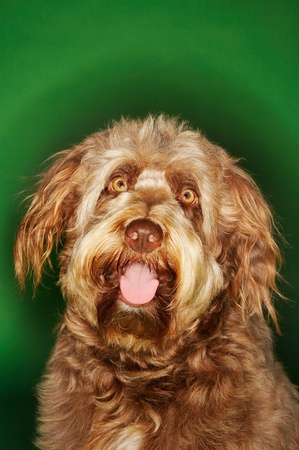 Otterhound close-up Stock Photo - 8844788