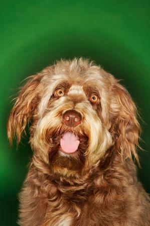 Otterhound close-up