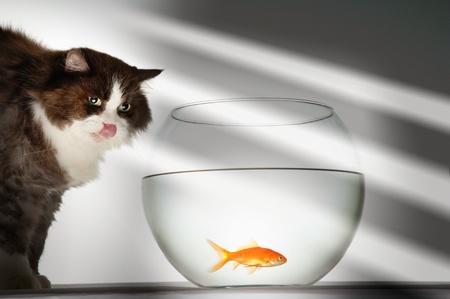 cypriniformes: Cat looking at goldfish in fishbowl LANG_EVOIMAGES