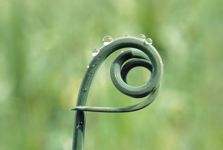 Tip of New Vine Growth Stock Photo - 12514010
