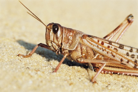 Desert Locust, close up Stock Photo - 12514020