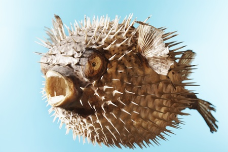 inflated: Taxidermal inflated puffer fish studio shot