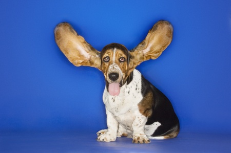 Basset hound with ears extended Stock Photo - 12514108