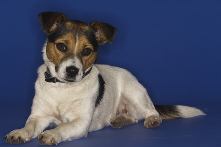 Jack Russell Terrier Stock Photo - 12514112