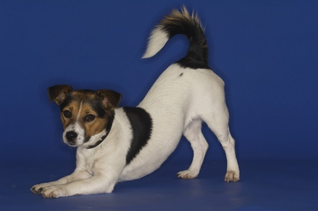 Jack Russell Terrier Stock Photo - 12514113
