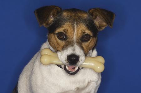 dog with bone: Jack Russell Terrier Holding Dog Bone LANG_EVOIMAGES