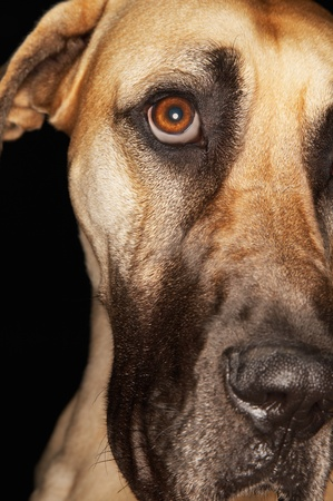 Brazilian mastiff (Fila Brasileiro) close-up Stock Photo - 12514137