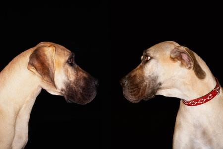 Two Brazilian mastiffs (Fila brasileiro) sitting face to face Stock Photo - 12514138