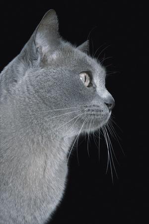 pet photography: Blue Burmese cat close-up