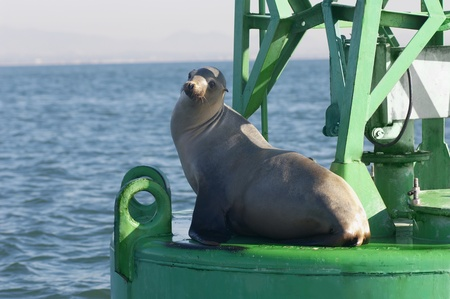 Seal on floating structure in ocean Stock Photo - 12547997
