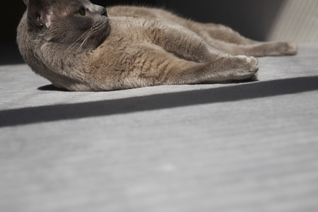 Cat Laying on Floor in Sunshine Stock Photo - 12737468