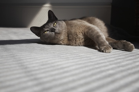 animals shadow: Cat Laying on Floor in Sunshine LANG_EVOIMAGES