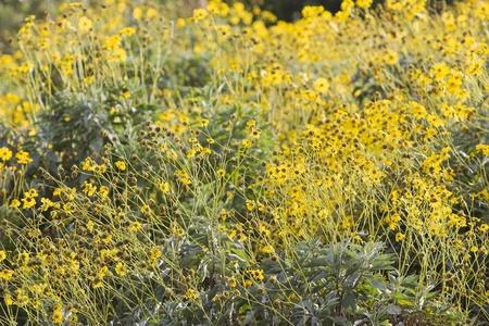 bur dubai: Dubai UAE Colourful yellow flowers in gardens at Creekside Park in Bur Dubai LANG_EVOIMAGES