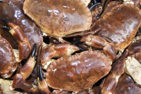 dungeness: Close-up of fresh Dungeness crabs LANG_EVOIMAGES