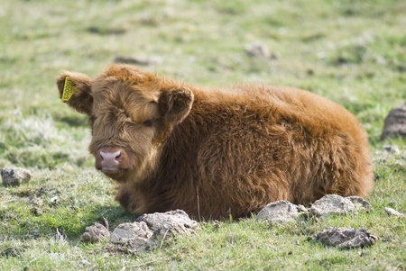 Scottish Highland breed calf on pasture Stock Photo - 12737860