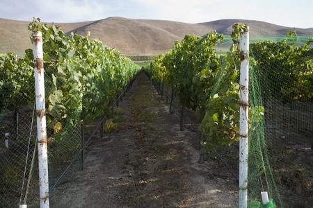 Vineyard in Santa Maria California Stock Photo - 12738233