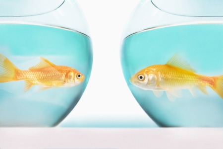 Two gold fish in bowls, side view Stock Photo - 18886126