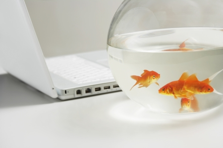 Close up of four goldfish in bowl with laptop behind Stock Photo - 19075922