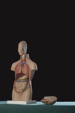 Human anatomy model Stock Photo - 18885074