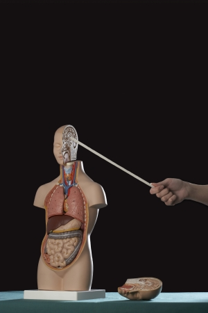 Person pointing stick at human anatomy model Stock Photo - 18885172