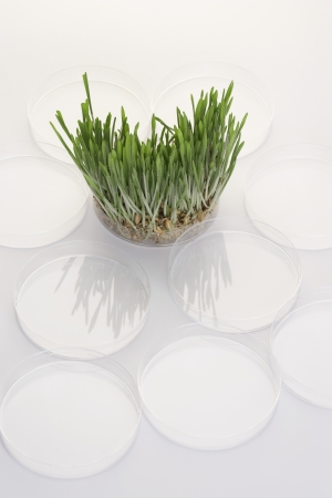 elevated view: Grass seedlings in petri dish, elevated view