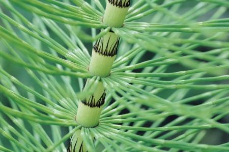 equisetum: Horsetail Stem close up (Equisetum)
