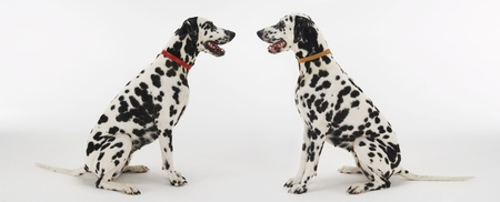 sameness: Dalmatians Face to Face