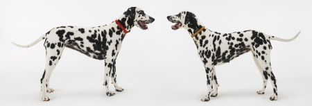 silhouettable: Dalmatians Face to Face