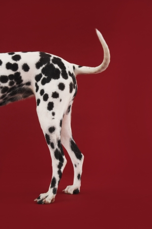 Dalmatian Rear Stock Photo - 18896976