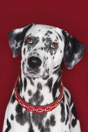 dalmation: Dalmatian LANG_EVOIMAGES