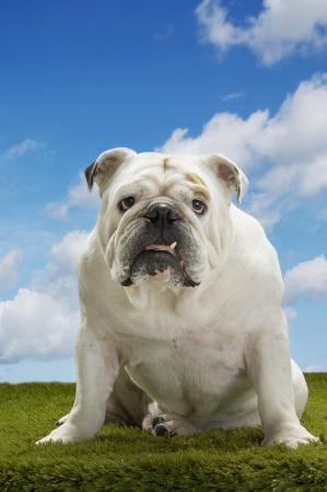 canid: Bulldog