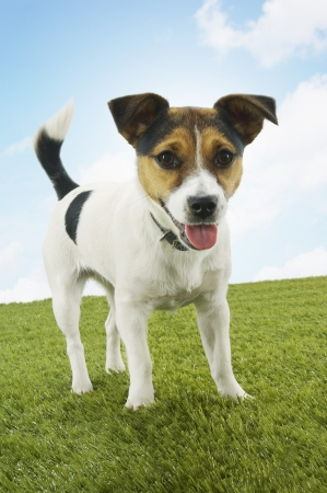 Jack Russell Terrier Stock Photo - 18897003