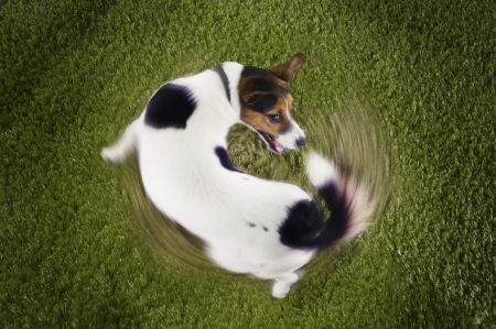chasing tail: Jack Russell terrier chasing tail view from above