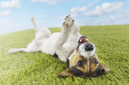 paw russell: Jack Russell terrier lying on back in grass extending paw