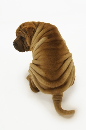 elevated view: Shar-pei sitting back view elevated view LANG_EVOIMAGES