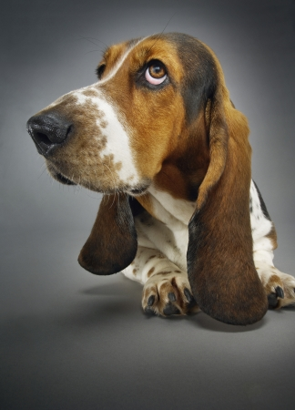 basset: Basset hound close-up