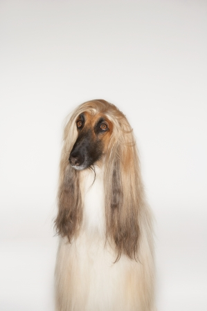 Afghan hound sitting front view Stock Photo - 18897106