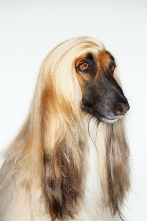 Afghan hound sitting close-up Stock Photo - 18897107