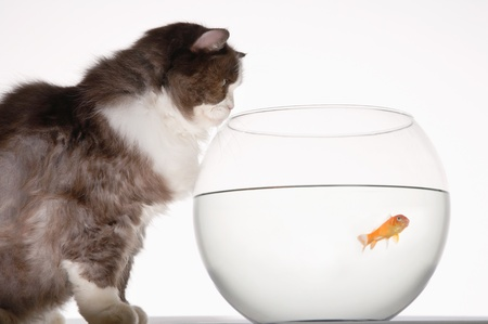 Cat looking at goldfish in a fishbowl side view Stock Photo - 18897110