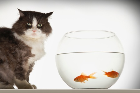 cypriniformes: Cat sitting by fishbowl containing two goldfish