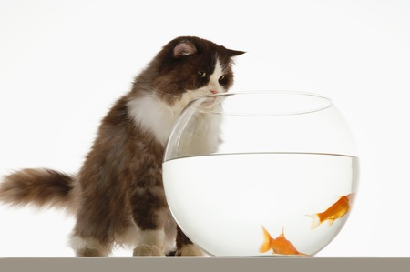 Cat looking at two goldfish in fishbowl front view Stock Photo - 18897112
